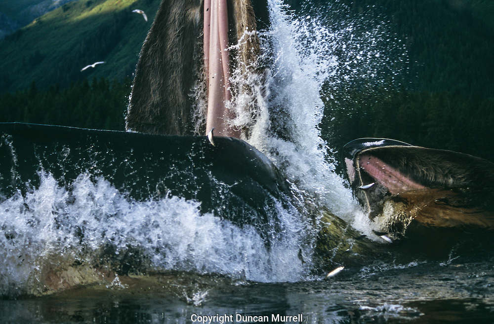 This photo illustrates the power of the whales when they surge to the surface. Their gaping jaws, scooping up hundreds of litres of sea water and fish, must exert a tremendous amount of drag. Some of the herring they were pursuing can be see flying through the air to escape their open mouths.