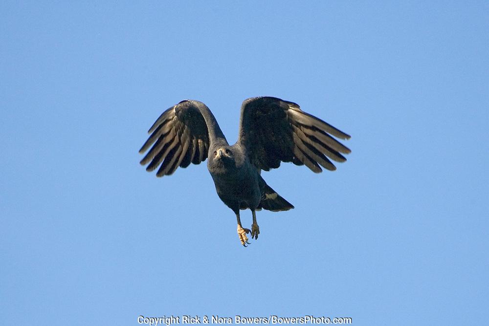 Common Black Hawk .Buteogallus anthracinus .San Blas, Nayarit, Mexico.20 January      Adult in flight.     Acciptridae