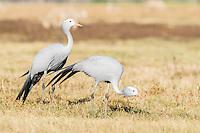 Blue Crane pair in farm field, Overberg, Western Cape, South Africa