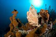 Commerson's Frogfish (Antennarius commerson) photographed in Tulamben, Bali, Indonesia. The Commerson's Frogfish is one of the largest frogfish and can eat a fish nearly as long as its total length.