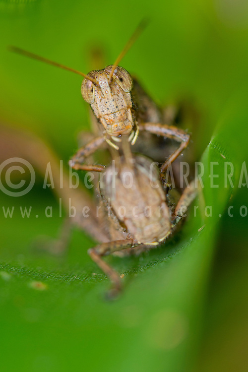Alberto Carrera, Grasshopper, Tropical Rainforest, Costa Rica, Central America, America