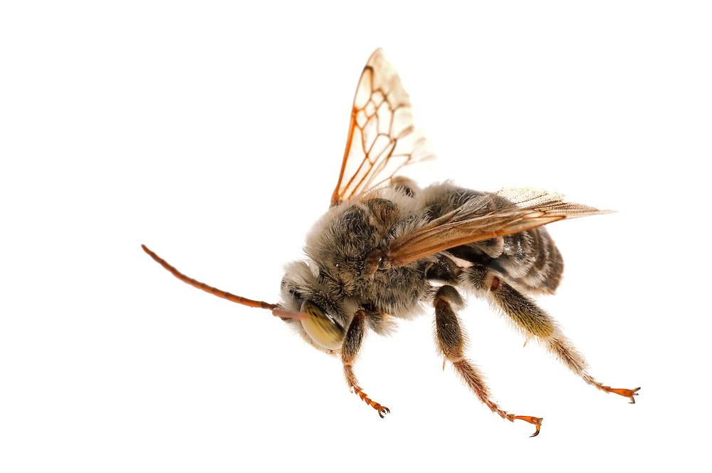 Long-horned Bee (Svastra sp), Clemson, South Carolina, USA