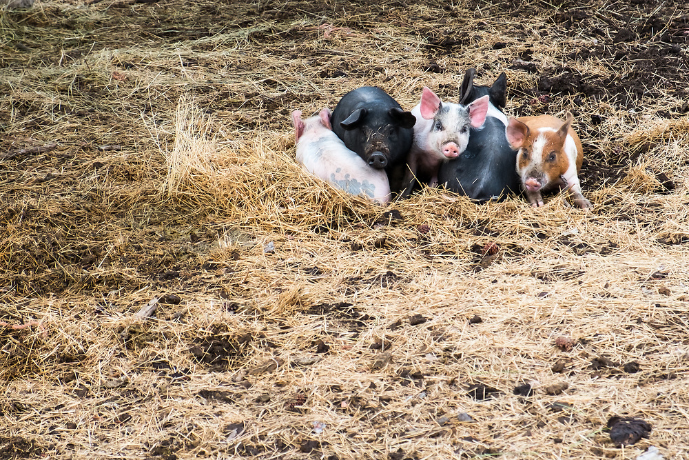 The piglets at EZ Rocking Ranch huddle together for the night. | August 23, 2014