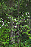 Dogwood and Douglas Fir trees, North Cascades Washington