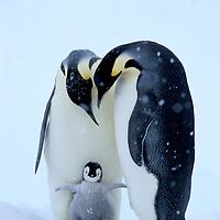 Fritz´s Penguins
