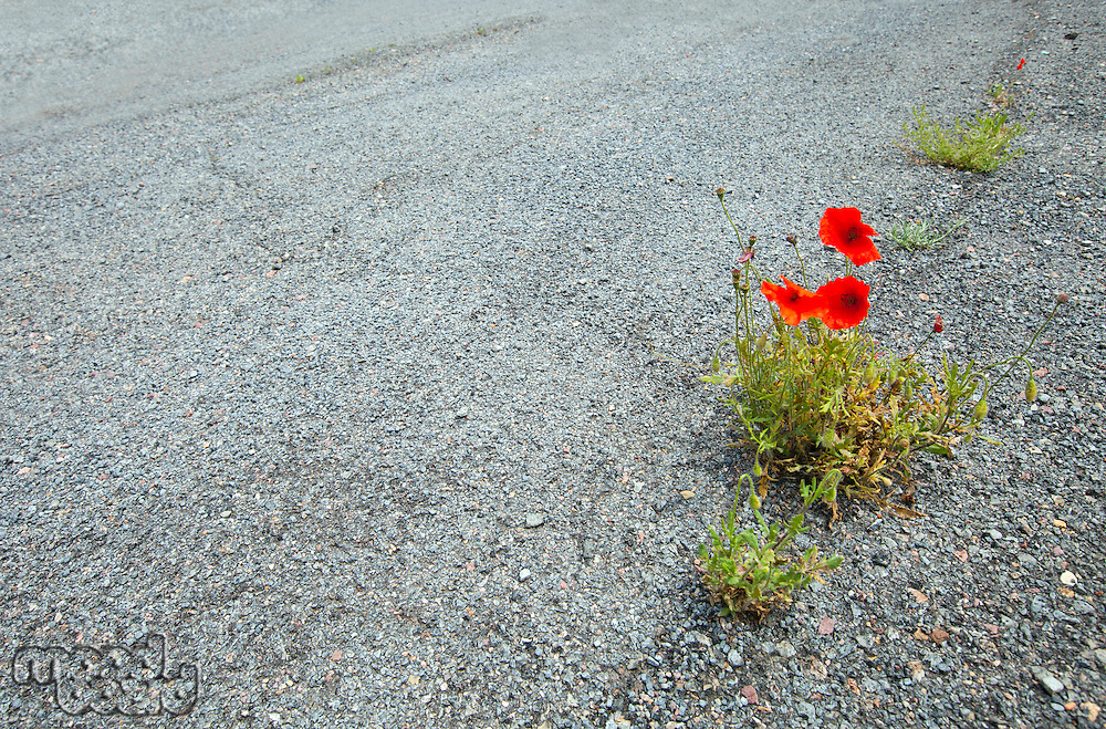 Poppies growing in the road, Valencia region, Spain