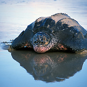Leatherback Turtle heading out to Sea after Laying Eggs at Playa Grande on the Nicoya Peninsula of Costa Rica