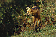 Maned Wolf<br />