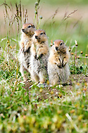 Three juvenile Arctic Ground Squirrels look out for predators. Arctic National Wildlife Refuge, Alaska