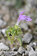 RED HEMP-NETTLE Galeopsis angustifolia (Lamiaceae) Height to 30cm. Branched and downy annual with stems that are not swollen at the nodes. Grows in arable fields, on disturbed ground and on shingle usually near the coast. FLOWERS are 15-25mm long and reddish pink with a hooded upper lip and a 2-lobed lower lip, the corolla tube being twice as long as the calyx; borne in terminal heads (Jul-Sep). FRUITS are nutlets. LEAVES are narrow and only slightly toothed. STATUS-Widespread but only locally common only and encountered mainly in SE England.