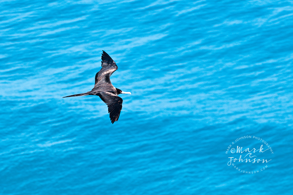 Frigate Bird (Iwa), Na Pali Coast, Kauai, Hawaii