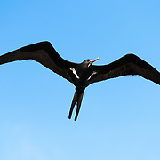 Lesser frigatebird (Fregata aerial) patrolling the skies. There were terns picking up sardines that had been driven into shallow water and onto the beach by trevallies, blacktip reef sharks and other predators. Frigatebirds like this gathered overhead to swoop in, bully terns carrying fish, and steal their meals.