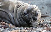 Juvenile of the Southern Elephant Seal (Mirounga leonina) at Elephant Point, Livingston Island, Antarctica