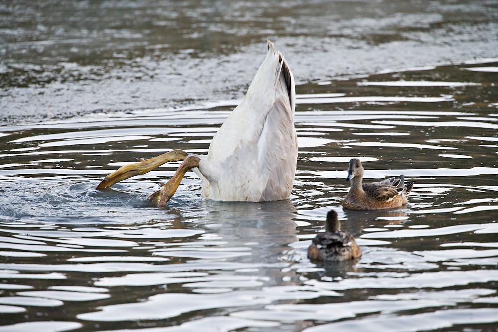 A juvenile (cygnet) Trumpeter Swan feeds on marsh vegetation on the bottom of Potter Marsh, Turnagain Arm, Anchorage in Southcentral Alaska. Fall. Morning.