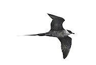 Long-tailed Skua Stercorarius longicaudus - second summer plumage. (L 36-42cm) recalls an Arctic Skua but is slimmer with much longer tail streamers in adult; long, pointed wings lack Arctic's white patch. Adult has mainly grey-brown upperparts, dark cap and whitish neck and underparts; note faint yellow flush on cheeks. Juvenile is variably barred grey-brown, palest on nape and chest. Look for it during storms on Outer Hebrides in spring, Cornish coasts in autumn.