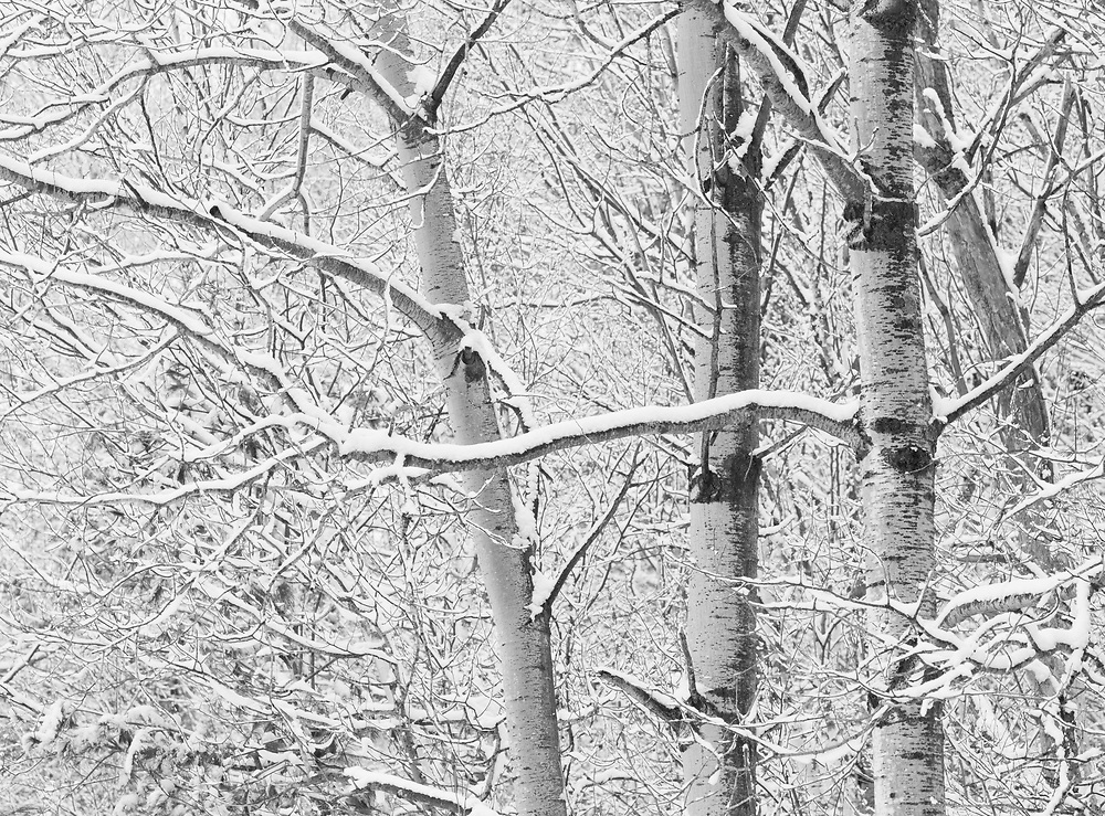 Fresh snow on aspen forest in Middlesex, Vermont.