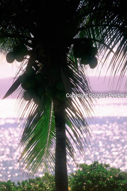 Coconut Trees, Maui, Hawaii<br />