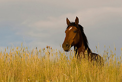 Adopted mustang in tall grass