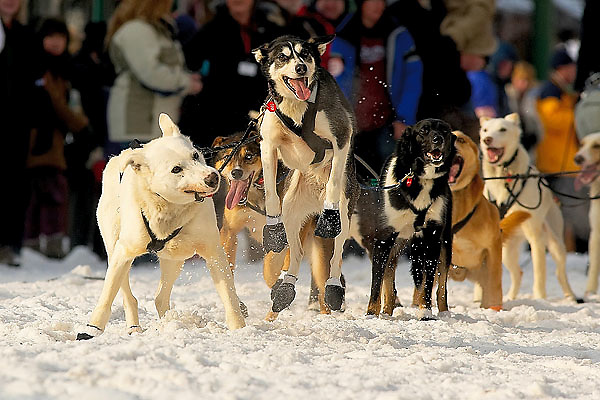 04 March 2006: Anchorage, Alaska - The primary lead dog of Thomas Knolmayer shows the secondary lead dog who is in charge before the Ceremonial Start in downtown Anchorage of the 2006 Iditarod Sled Dog Race