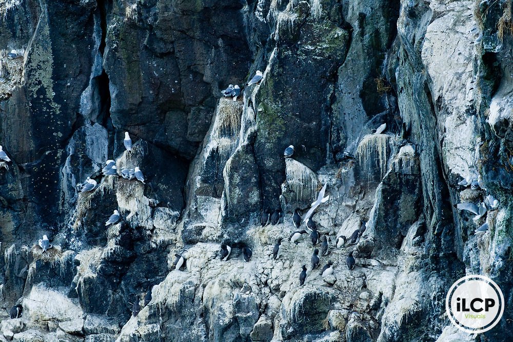 Black-legged Kittiwake (Rissa tridactyla) and Common Murre (Uria aalge) nesting colony on cliff, Skomer Island National Nature Reserve, Skomer Island, Pembrokeshire, Wales, United Kingdom