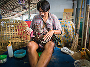 11 JANUARY 2014 - BANGKOK, THAILAND:  A bird's owner patches up his fighting cock after a bout in Bangkok. Cockfighting dates back over 3,000 years and is still popular in many countries throughout the world today, including Thailand. Cockfighting is legal in Thailand. Unlike some countries, Thai cockfighting does not use artificial spurs to increase injury and does not employ the 'fight to the death rule'. Thai birds live to fight another day and are retired after two years of competing. Cockfighting is enjoyed by over 200,000 people in Thailand each weekend at over 75 licensed venues. Fighting cocks live for about 10 years and only fight for 2nd and 3rd years of their lives. Most have only four fights per year. Most times the winner is based on which rooster stops fighting or tires first rather than which is the most severely injured. Although gambling is illegal in Thailand, many times fight promoters are able to get an exemption to the gambling laws and a lot of money is wagered on the fights.    PHOTO BY JACK KURTZ