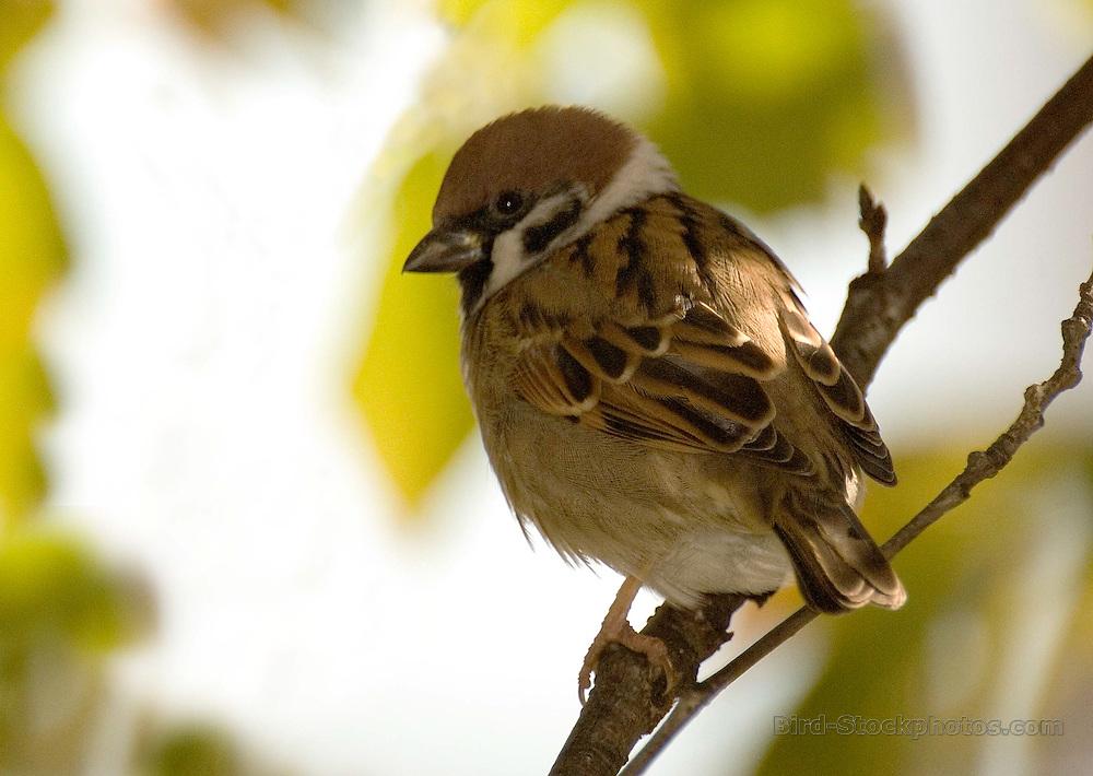 Eurasian Tree Sparrow, Passer montanus, Japan, by Owen Deutsch