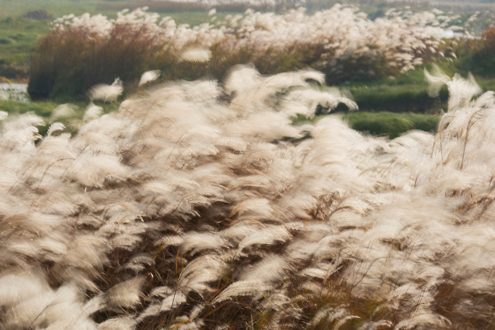 Amur Silvergrass in the Xiangyou grasslands (widest grasslands in southern China), Poyang Ho Lake, Jiangxi province, China