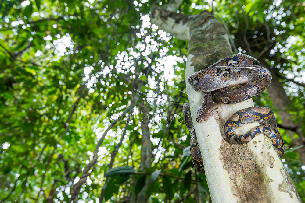 A Reticulated Python, Python reticulatus, coiled around the trunk of a tree in the forest, Kinabatangan River, Sabah, Malaysia.