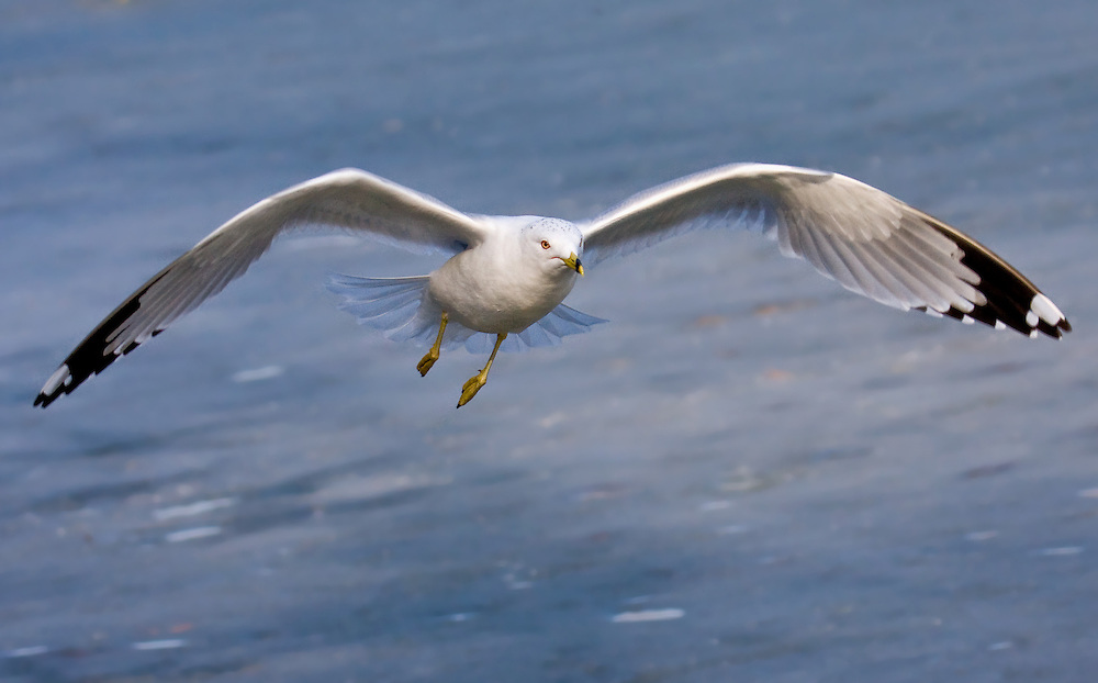 A ring billed gull flying over the ice in January.