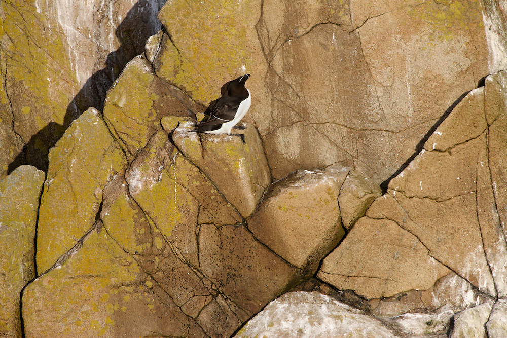 Cliff  with razorbill, Alca torda, Saltee Islands Ireland