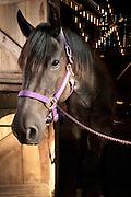 Close up of Jabberwocky, a blue roan Quarter horse.