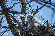 reat horned owl (Bubo virginianus)  Chick in Seine River Forest, Winnipeg, Manitoba, Canada