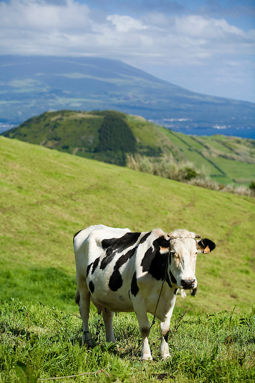 A Friesian cow eats grass in a field on the island of Faial. In the distance is the island of Pico. The Azores are a group of islands under Portuguese sovereignty. They Mark the most westerly point of the E.U. and earn most of their income from agriculture and tourism.