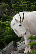 Mountain Goat along the trail, Glacier National Park, Montana, US; August 2011