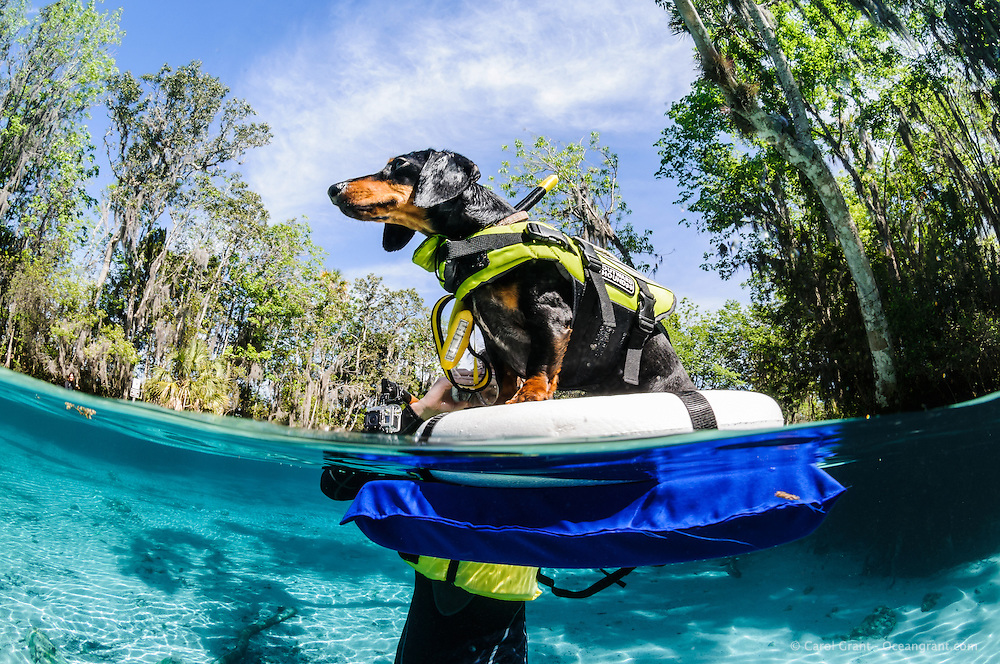 Dog, dachsund, Canis familiaris, in snorkel gear floating on a raft looking into the beautiful blue sky. Horizontal orientation split image. Three Sisters Springs, Crystal River National Wildlife Refuge, Kings Bay, Crystal River, Citrus County, Florida USA.