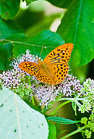 Close-up of a beautiful orange butterfly on dainty flowers with a background of green leaves.