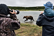 A adult brown bear boar walks past human visitors during close encounter bear viewing at the McNeil River State Game Sanctuary on the Kenai Peninsula, Alaska. The remote site is accessed only with a special permit and is the world's largest seasonal population of brown bears in their natural environment.