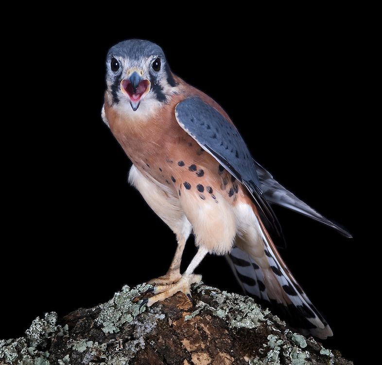 American Kestrels are widely distributed across the Americas. Their breeding range extends from central and western Alaska across northern Canada to Nova Scotia, and south throughout North America, into central Mexico, the Baja, and the Caribbean. They are local breeders in Central America and are widely distributed throughout South America.