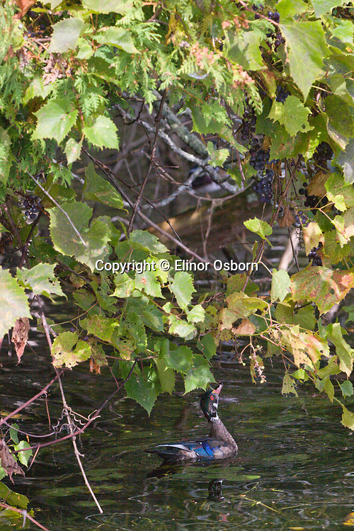 wood duck looking up into grapevines before jumping