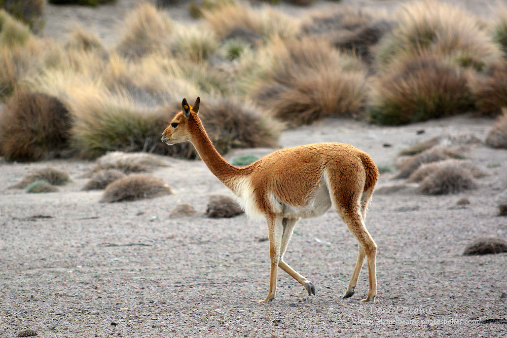 Vicuna in Sajama National Park, Bolivia