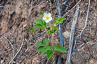 The native and uncultivated woodland strawberry (Fragaria vesca) and is found through out much of Europe and parts of Asia, where there is eveidence of humans gathering and eating this small vibrant red strawberry from the stone age. This one in flower was photographed in Steven's Pass in Washington's Cascade Mountains.