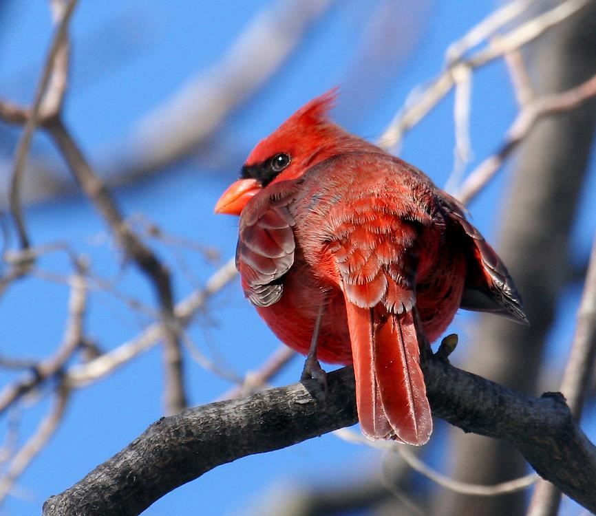 Male cardinal in the dead of Winter, 2003.