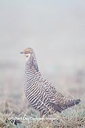 00842-03511 Greater Prairie-Chicken (Tympanuchus cupido) male on lek in fog Prairie Ridge State Natural Area Jasper Co, IL