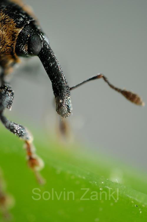 Weevil (Cionus tuberculosus), Burgwald, Gearmany | Auf der Braunwurz vorkommender Braunwurzschaber (Cionus tuberculosus)