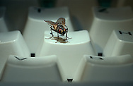 Deu, Deutschland: Stubenfliege (Musca domestica), sitzt auf einer Tastatur, Cuxhaven, Niedersachsen | DEU, Germany: Housefly (Musca domestica), sitting on a keyboard, Cuxhaven, Lower Saxony |