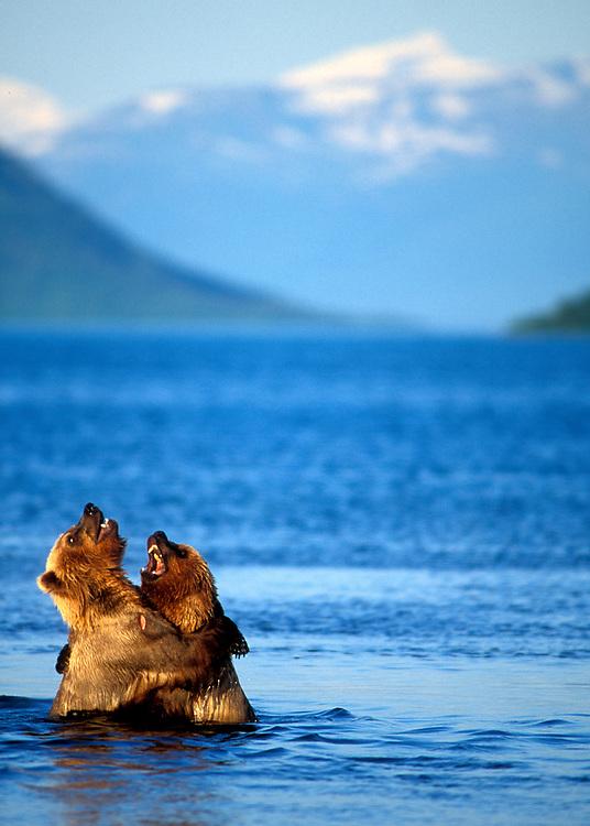USA, Alaska, Katmai National Park, Grizzly Bears (Ursus arctos) wrestling in shallows of Naknek Lake