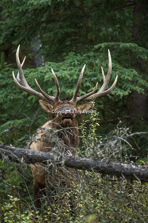 bull elk in brush