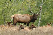 The alpha-male elk checks out the females during the fall rut at Gold Bluffs, near Klamath, California. American Elk (Cervus elaphus) are also known as Wapiti..