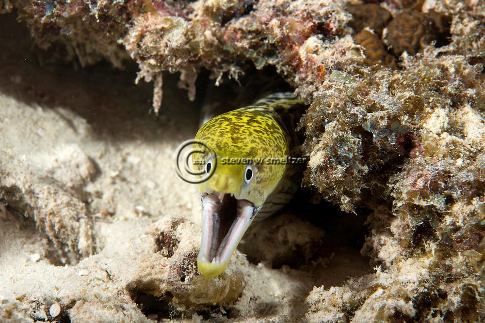 Undulate Moray, Gymnothorax undulatus,(Lacépède, 1803), Maldives