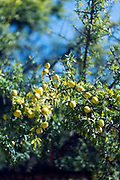 Close up of argan nuts growing on an argan tree near Aoulouz, Taliouine & Taroudant Province, Souss Massa Draa region of Southern Morocco, 2016-05-21. <br />